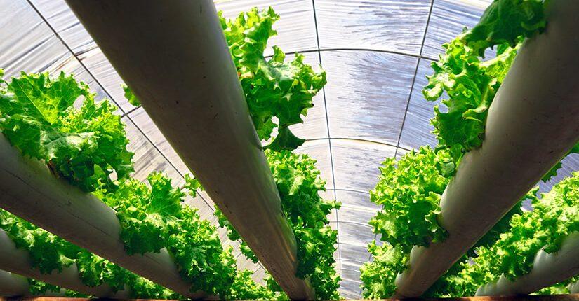 zdjęcie wpisu Czym są uprawy hydroponiczne?