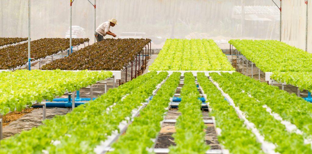 uprawy hydroponiczne, zalety upraw hydroponicznych, uprawa hydroponiczna