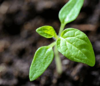podziemne Relacje Roślin