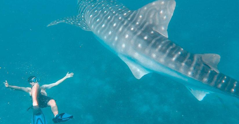 zdjęcie wpisu Nurkowanie z Rekinami Wielorybimi za 70zł – Filipiny!