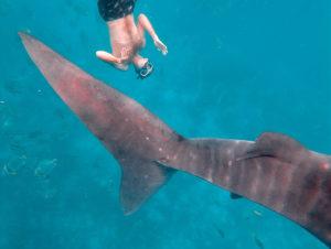 rekin wielorybi, Oslob, Filipiny